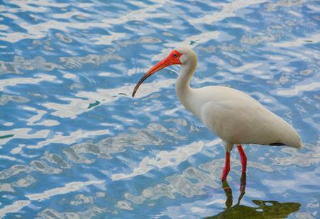 American white ibis feeding at Lake Eola Park in Orlando, Florida.