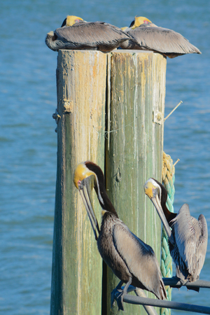 Brown Pelicans (Pelecanus Occidentalis) resting and grooming at Johns Pass near the Gulf of Mexico in Florida.