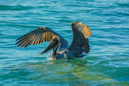 Brown Pelican (Pelecanus Occidentalis) landing after dive fishing in the Gulf of Mexico, Florida.