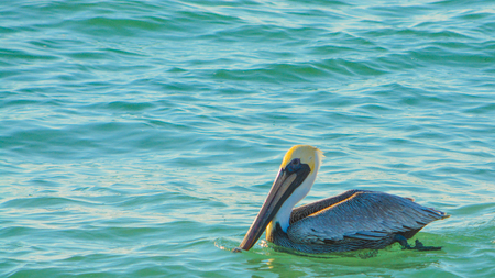 Brown Pelicans (Pelecanus Occidentalis)  resting on the Gulf of Mexico in Florida