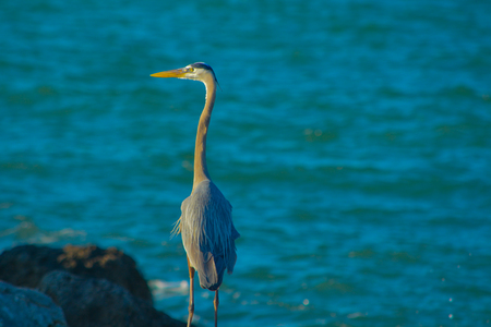 Blue Heron in Sand Key Park on the Gulf of Mexico, Florida.