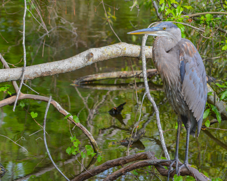 water ecosystem: A Great Blue Heron (ardea herodias) resting on a branch at McGough Nature Park in Largo, Florida USA