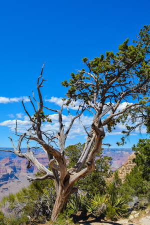 desert ecosystem: A tree overlooking the Grand Canyon National Park in Arizona, USA