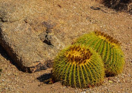desert ecosystem: Desert cactus landscape in Arizona