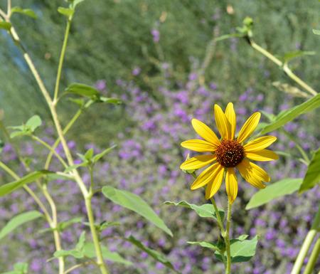 desert ecosystem: The desert flower, sweet coneflower rudbeckia triloba Stock Photo