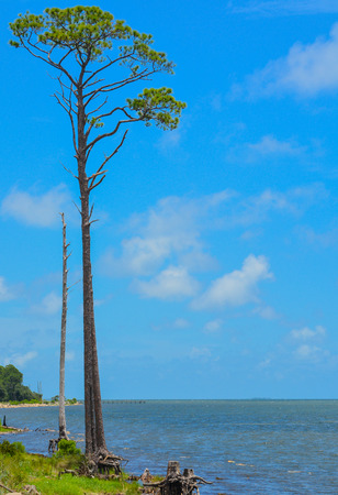 Pine tree on St. George Sound near Carrabelle, Franklin County, Florida. Imagens