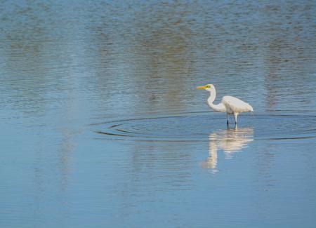 Great White Heron at Big Talbot Island State Park, Jacksonville, Duval County Florida USA Imagens
