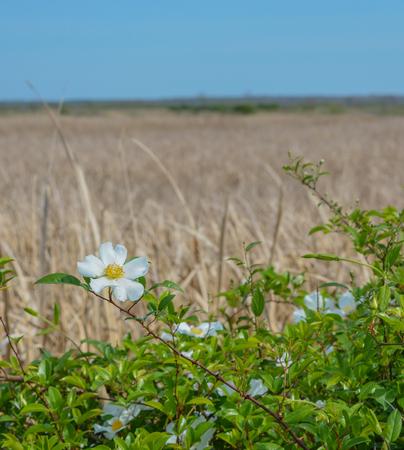 Magnolia Shrub in Savannah National Wildlife Refuge. Hardeeville, Jasper County, South Carolina USA Stock Photo