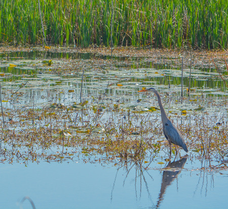 Great Blue Heron, Ardea Herodias at Savannah National Wildlife Refuge, Hardeeville, Jasper County, South Carolina USA