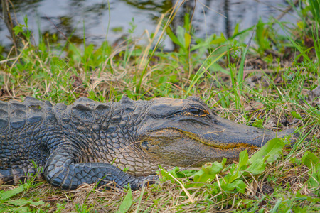 American Alligator Mississipplensis at Savannah National Wildlife Refuge, Hardeeville, Jasper County, South Carolina USA