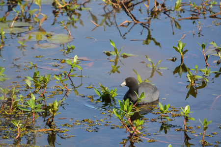 American Coot at Savannah National Wildlife Refuge, Hardeeville, Jasper County, South Carolina USA