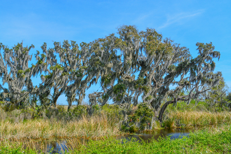 Live Oaks with Mexican Moss at Savannah National Wildlife Refuge in Hardeeville, Jasper County, South Carolina USA