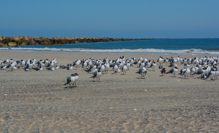 Laughing Gulls (Leucophaeus Atricilla) on Fernandina Beach, Fort Clinch State Park, Nassau County, Florida USA