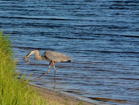 Great Blue Heron killing and eating a Boa snake. At Okeechobee lake, Okeechobee County, Okeechobee Florida, USA