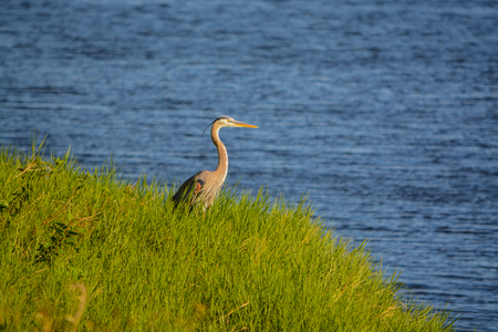 Great Blue Heron looking over Okeechobee Lake