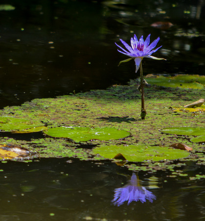 Tropical Waterlilies at Mckee Botanical Garden in Vero Beach, Indian River County, Florida USA