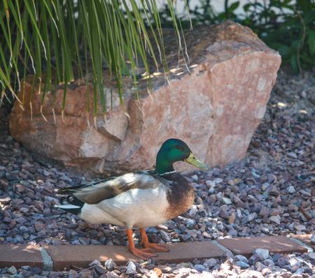 Mallard Duck (Anas Platyrhynchos) resting poolside in Glendale, Maricopa County, Arizona USA