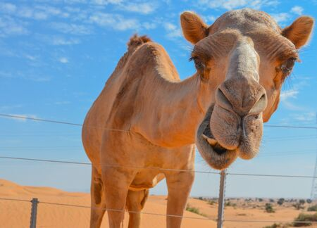 Arabian Camel (Camelus Drimedarius) in the desert of the United Arab Emirates of Western Asia.