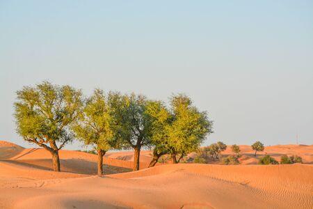 Arabian desert tree (Prosopis Cineraria) on the red sand dunes of Dubai, United Arab Emirates