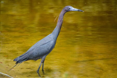 Little Blue Heron (Egretta Caerulea), Indian River County, Florida USA 版權商用圖片