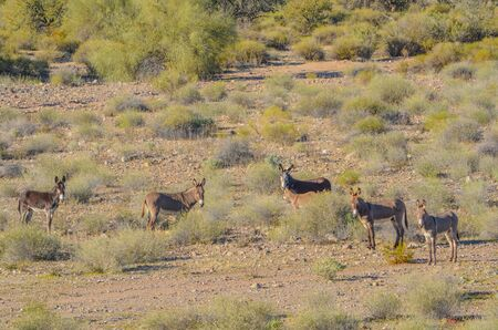 Wild Rogue Donkeys, also known as Feral Burros, graze the Sonoran Desert mountains in Maricopa County. Arizona USA