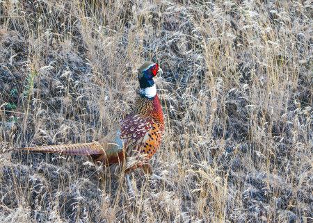 Wild, Male Ring necked Pheasant in Cheney, Washington Banco de Imagens
