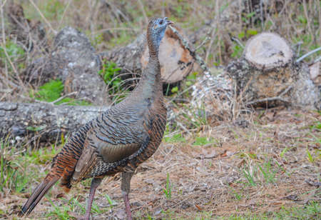 A Female, Florida Wild Turkey roaming and feeding in Wekiwa Springs State Park, Apopka, Seminole County, Florida
