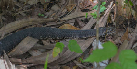 A Cottonmouth meandering through the brush in Wekiwa Springs State Park in Seminole County, Florida 免版税图像