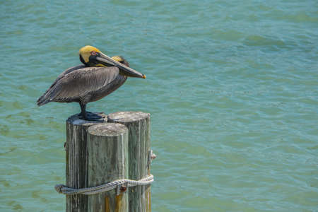 A Pelican relaxing on poles over the beautiful waters of Johns Pass on the Gulf of Mexico, Florida 免版税图像