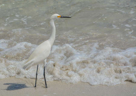 Snowy Egret on the beach of Johns pass at the Gulf of Mexico, Florida 免版税图像