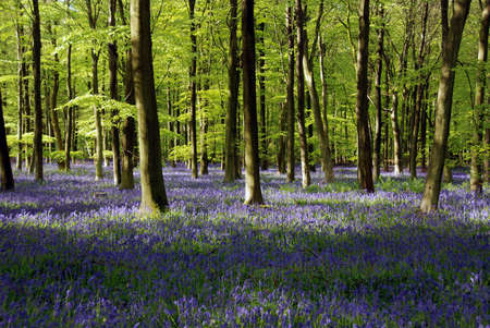 woodscape: Bluebell Woods