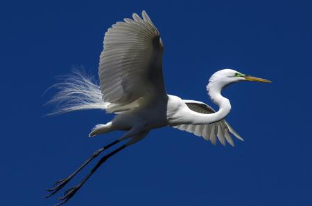 plummage: Blanco P�jaro del Egret Foto de archivo