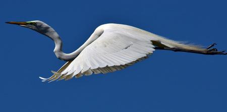 glide: White Egret Glide