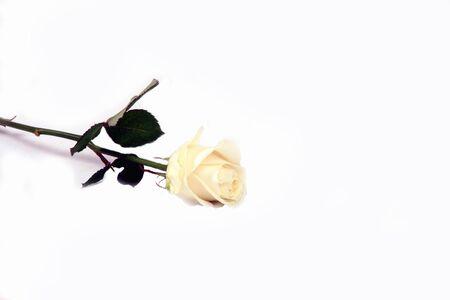 a beautiful white rose