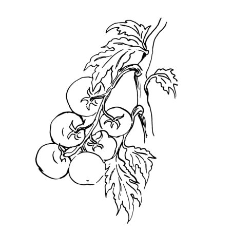 vector sketch of a branch of tomatos. outline drawing Illustration
