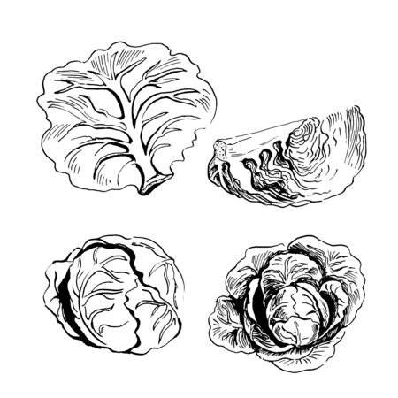 set of vector sketches of cabbage. Hand drawn illustration isolated on white background