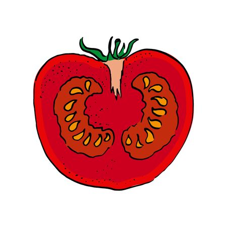 vertical cut of tomato. vector illustration. colour hand drawn