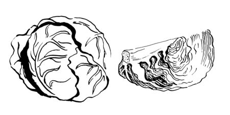 head and a section of cabbageset of vector sketches. Hand drawn illustration isolated on white background  イラスト・ベクター素材