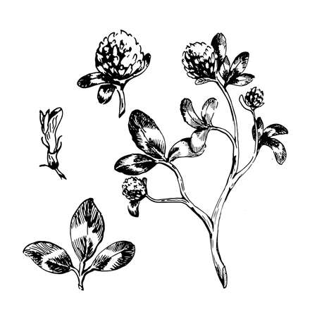 ink drawing of trefoil. black and white vector hand drawn botanical illustration