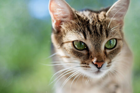 attentiveness: Young beautiful cat with green eyes hunts