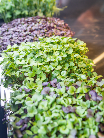 a row of microgreen plants on the kitchen table Archivio Fotografico
