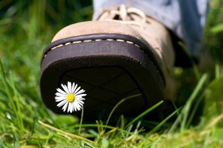 Leather shoe treading on a daisy in grass.