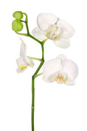 White orchid with three blooms and green buds isolated on white background. Stock Photo - 1862597