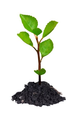 Young growing tree with chunk of earth isolated on white