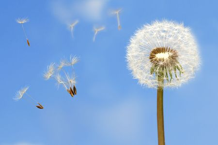 Seeds of dandelion flying in wind on bright blue sky photo