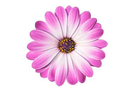 Flower of magenta cape daisy - osteospermum - isolated on white photo
