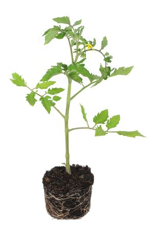 Fresh young tomato plant with root ball isolated on white