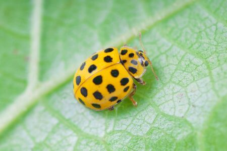 Detail of yellow ladybird on a green leaf