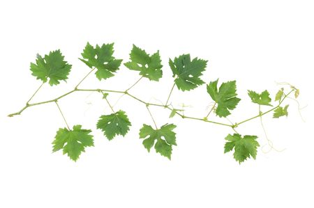 Green grapevine leaves on a small twig isolated on white