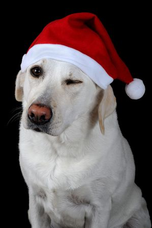 Winking white labrador retriever with red Santa Claus hat